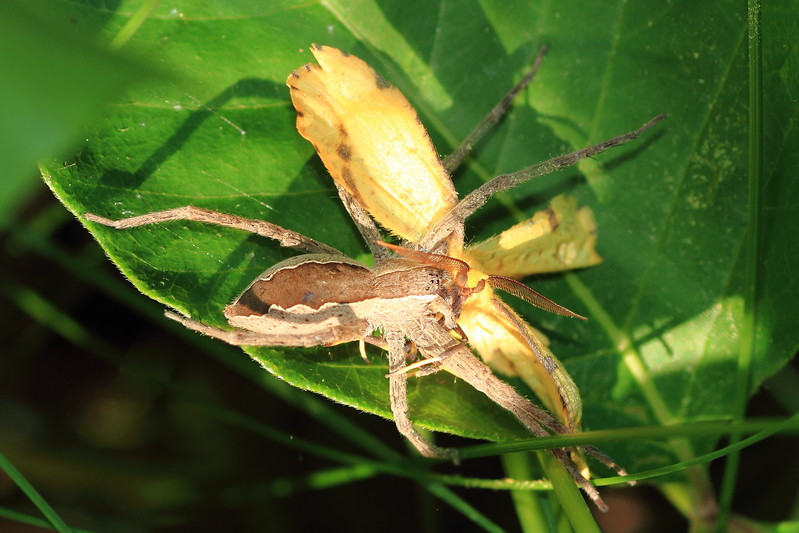 Nursery Web Spider with unlucky moth- Grams Park