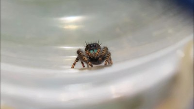 Jumping Spider 9-15-19