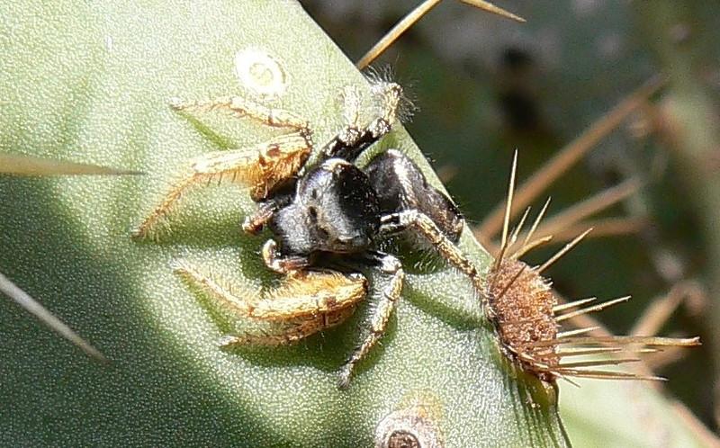 P107AzJumpingSpdr210 Oct. 21, 2010  9:57 a.m.  P107x0210 Arizona Jumping Spider, Phidippus arizonensis, male, at LBJ WCtr.
