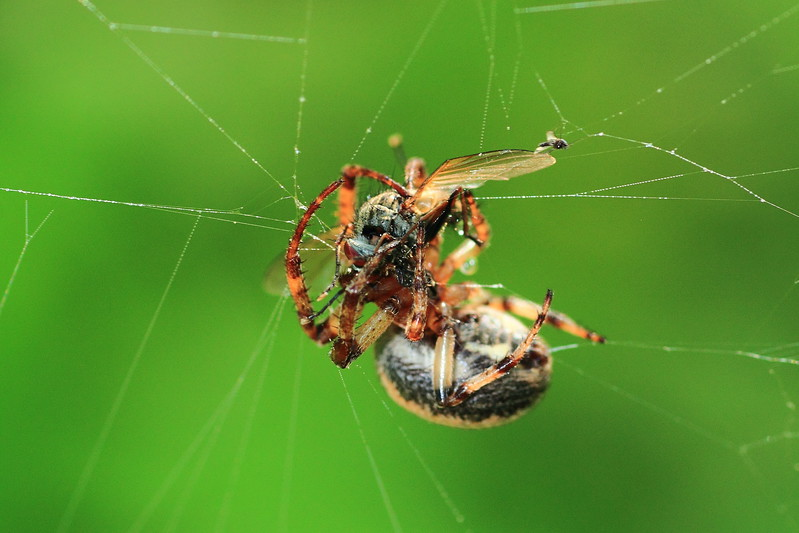Furrow Spider with unfortunate fly- Mille Lacs Kathio S.P.