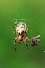 Furrow Spider- Mille Lacs Kathio S.P.