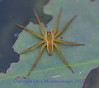 Six-spotted fishing spider-Upper N. Fork Flowage