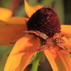 Crab Spider on Brown-eyed Susan- Sherburne NWR