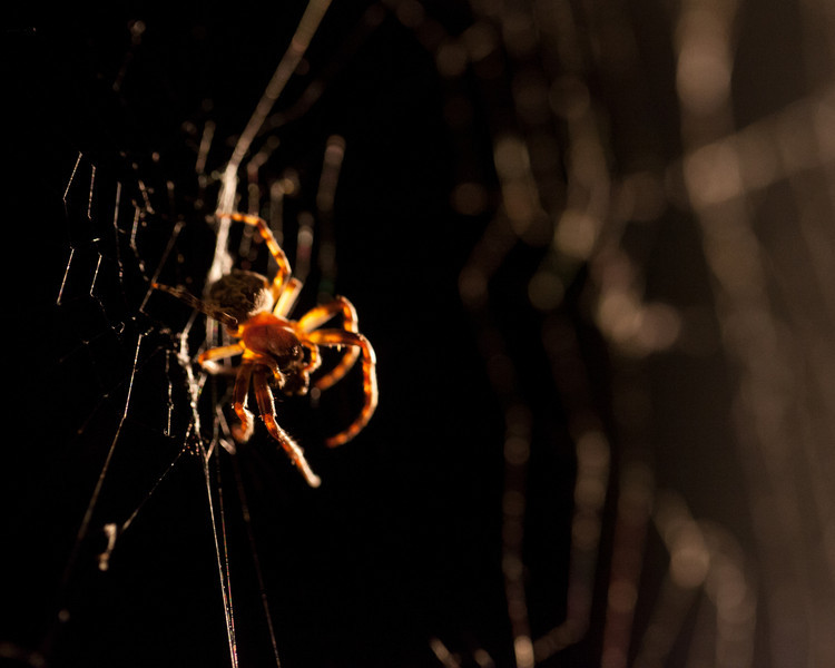 Spider working at night near a light
