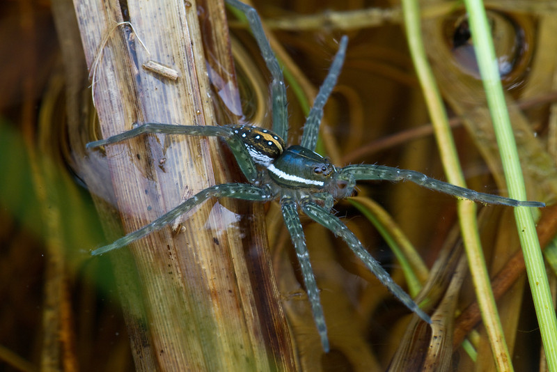 Six-Spotted Fishing Spider - May 2011