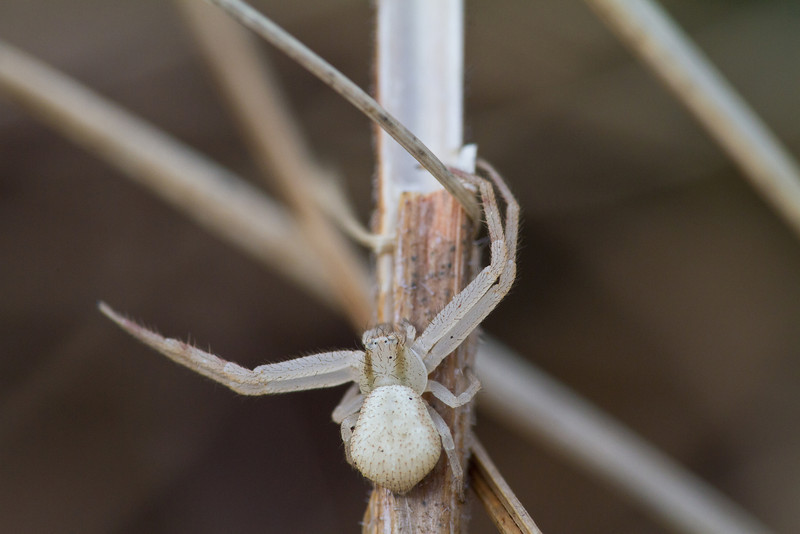 Northern Crab Spider - March 17, 2012