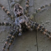 Wolf Spider - Secor Metropark - August 2008
