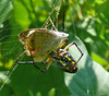 Black and Yellow Garden Spider with a Common Buckeye
