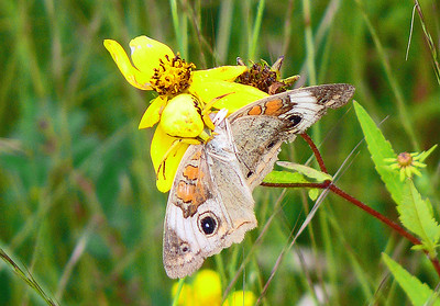 Flower Crab Spider eating a Common Buckeye