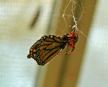 Monarch and Orbweaver