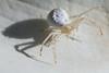CrabSpider0225