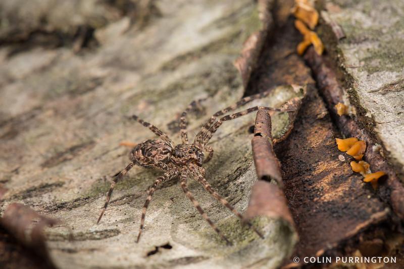Dark fishing spider (Dolomedes tenebrosus)