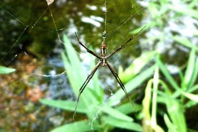 P104MaleArgiopeAurantiaSpider432 July 30, 2011  9:04 a.m.  P1040432 A male Argiope aurantia spider at LBJ WC.