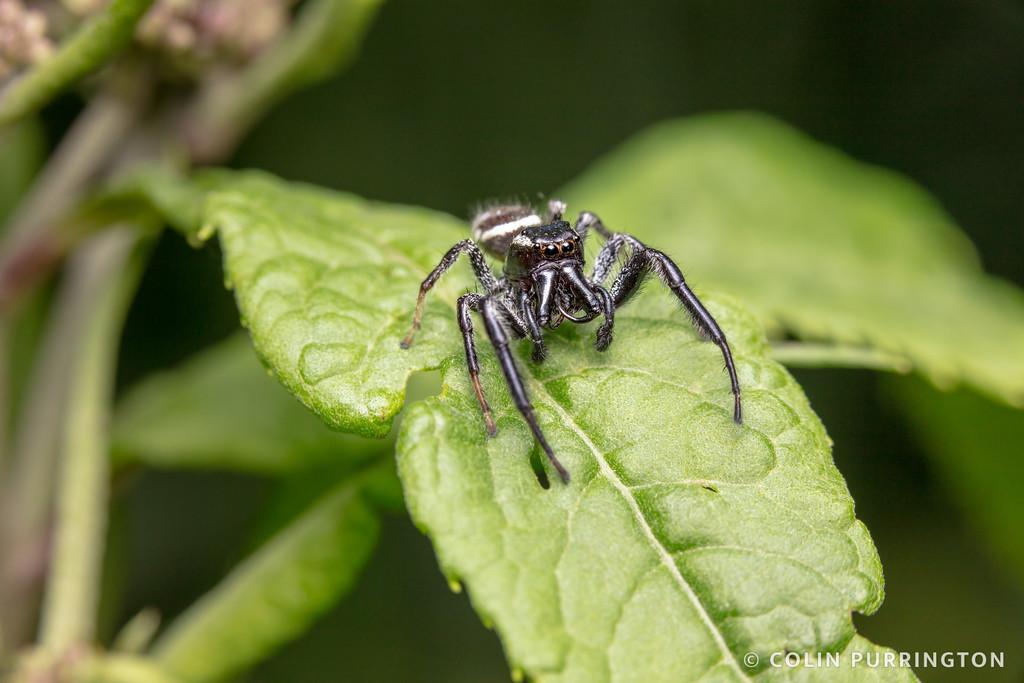Golden jumping spider