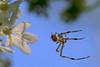 CrabSpider4666ACR-2014DT