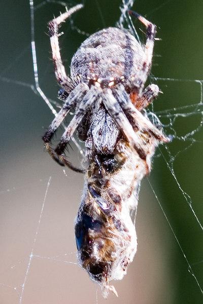 Spider-elore-sRGB-1595