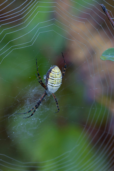 Garden Spider - September 2008
