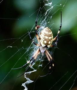 P150ArgiopeAurantia422 Sep. 10, 2015  8:33 a.m.  P1500422 This is the Black and Yellow Garden Spider, Argiope aurantia, at LBJ WC.