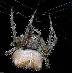 Cat Faced Spider