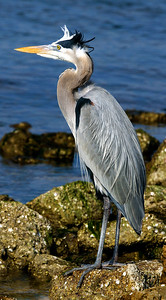 Great Blue Heron posing on rocks