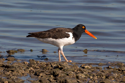 Oyster Catcher on the Texas City Dike