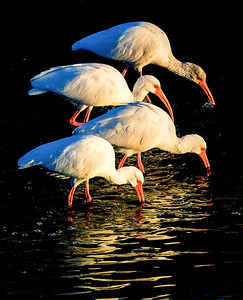4 White Ibis feeding in Brays Bayou