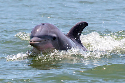 Smiling Dolphin in Galveston Harbor