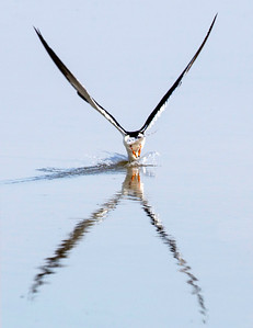 A Black Skimmer diving for its catch, Texas City Dike