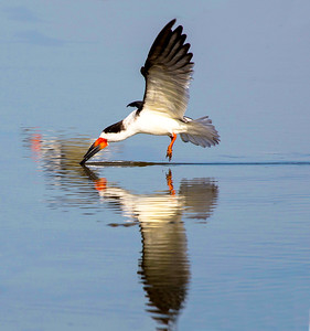 Black Skimmer skimming, Texas City Dike