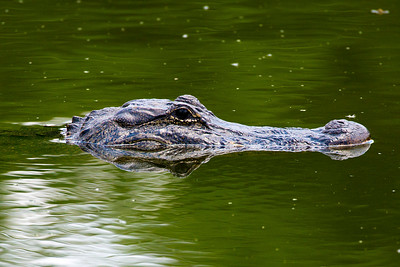 Alligator with reflecting head, Brazos Bend State Park