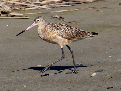 Marbled Godwit, Texas City Dike