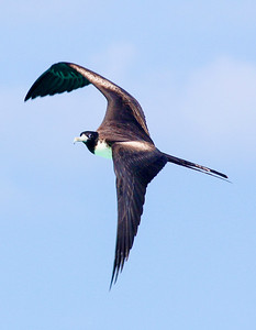 Female Frigate Bird in flight, Grand Tortugas, FL