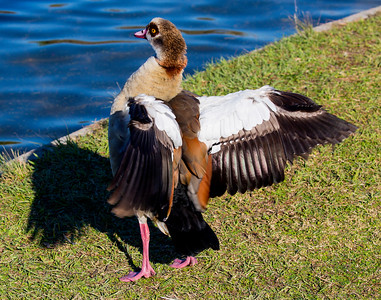 Egyptian Goose fluffing its feathers, Hermann Park