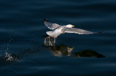Herring Gull taking off from the water.   Lake Michigan
