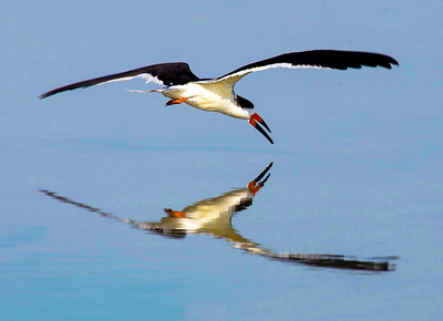 A Black Skimmer about to skim, Texas City Dike