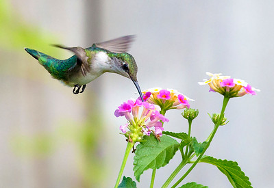 Ruby Throated Hummingbird feeding on Lantana, Houston