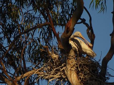 Spoonbill Nest