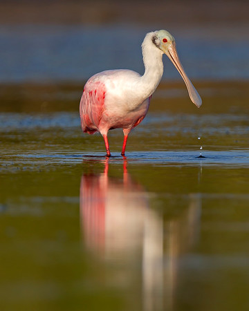 This Roseate Spoonbill photograph was captured in the Bunche Preserve, Florida (9/12).  This photograph is protected by the U.S. Copyright Laws and shall not to be downloaded or reproduced by any means without the formal written permission of Ken Conger Photography.