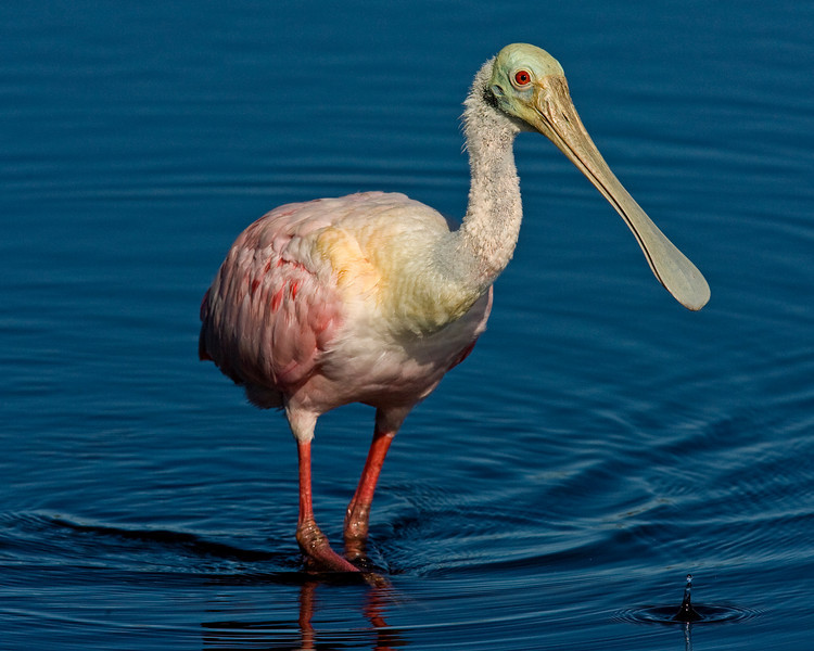 This photograph of a Roseate Spoonbill was captured in a Merritt Island National Wildlife Refuge in Titusville, Florida (12/08).   This photograph is protected by the U.S. Copyright Laws and shall not to be downloaded or reproduced by any means without the formal written permission of Ken Conger Photography.