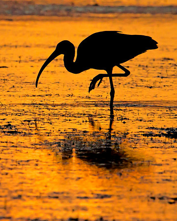 This silhouette photograph of a sunset feeding White Ibis was captured in the Bunche Preserve, Florida (9/12).  This photograph is protected by the U.S. Copyright Laws and shall not to be downloaded or reproduced by any means without the formal written permission of Ken Conger Photography.