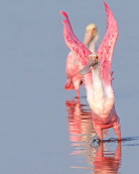This photograph of a Rosette Spoonbill was captured in Ding Darling National Wildlife Refuge, Florida (8/14). This photograph is protected by the U.S. Copyright Laws and shall not to be downloaded or reproduced by any means without the formal written permission of Ken Conger Photography.