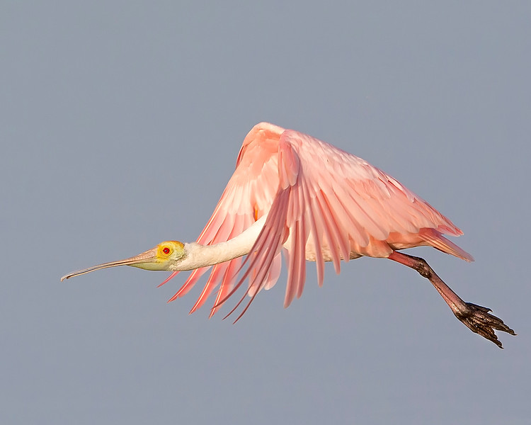 This photograph of a flying Rosette Spoonbill  was captured in Ding Darling National Wildlife Refuge, Florida (8/14). This photograph is protected by the U.S. Copyright Laws and shall not to be downloaded or reproduced by any means without the formal written permission of Ken Conger Photography.