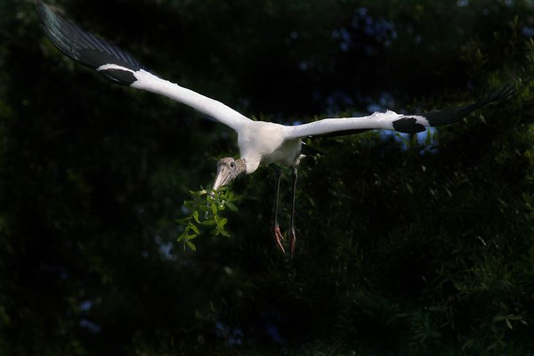 This is a photograph of a Wood Stork in flight with nesting material taken in St. Augustine, Florida (4/06).