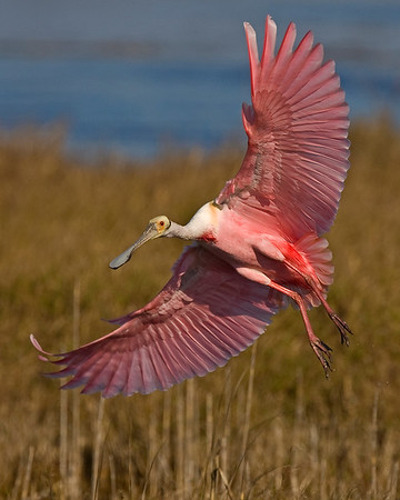 This photograph of a Roseate Spoonbill was captured at Merritt Island National Wildlife Refuge near Titusville, Florida (3/10).  This photograph is protected by the U.S. Copyright Laws and shall not to be downloaded or reproduced by any means without the formal written permission of Ken Conger Photography.