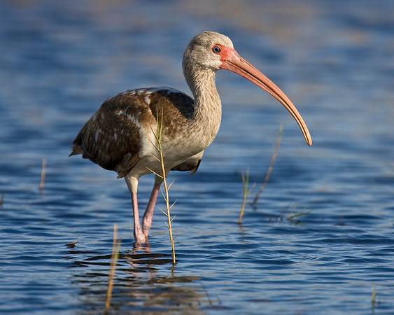 This photograph of a White Ibis was captured at Merritt Island National Wildlife Refuge near Titusville, Florida (3/10).  This photograph is protected by the U.S. Copyright Laws and shall not to be downloaded or reproduced by any means without the formal written permission of Ken Conger Photography.