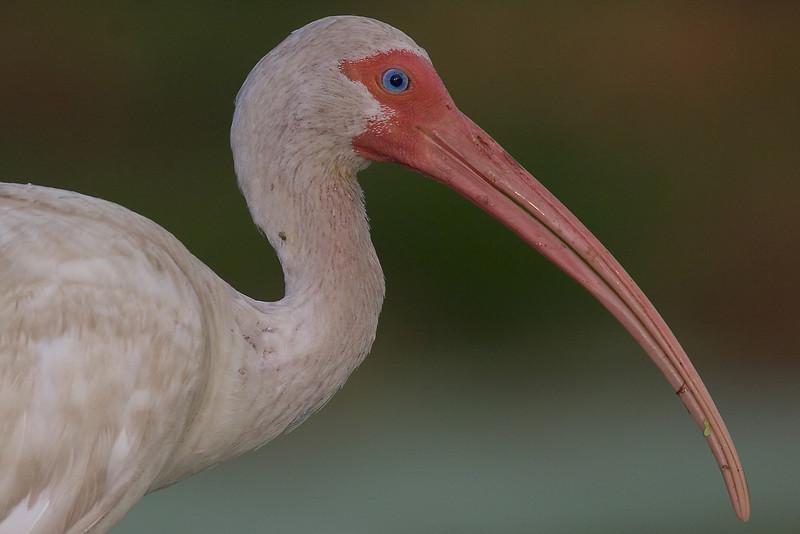 This White Ibis photograph was captured at Merrit Island National Wildlife Refuge (4/05).