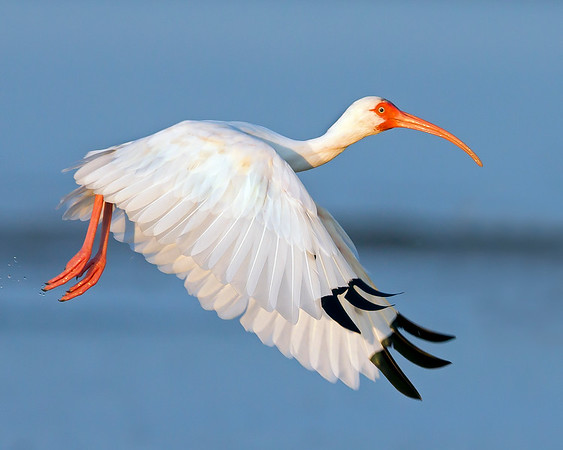 This photograph of a flying White Ibis was captured in the Bunche Preserve, Florida (9/12).  This photograph is protected by the U.S. Copyright Laws and shall not to be downloaded or reproduced by any means without the formal written permission of Ken Conger Photography.