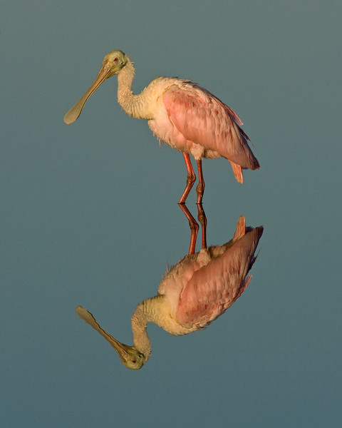 This photograph of a Roseate Spoonbill was captured in a Merritt Island National Wildlife Refuge Titusville, Florida (12/08).  It could not have been a better morning with good light and absolutely no wind providing for excellent reflection image opportunities.   This photograph is protected by the U.S. Copyright Laws and shall not to be downloaded or reproduced by any means without the formal written permission of Ken Conger Photography.