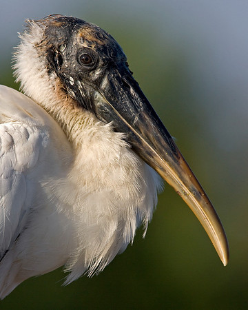 This photograph of a Wood Stork was captured in a Green Cay Wetlands in Boynton Beach, Florida (12/08).   This photograph is protected by the U.S. Copyright Laws and shall not to be downloaded or reproduced by any means without the formal written permission of Ken Conger Photography.