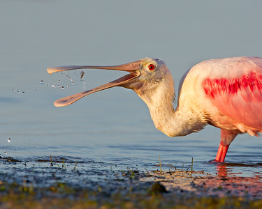 This photograph of Roseate Spoonbill in the process of catching a shrimp (between bill) was captured in the Bunche Preserve, Florida (9/12).  This photograph is protected by the U.S. Copyright Laws and shall not to be downloaded or reproduced by any means without the formal written permission of Ken Conger Photography.